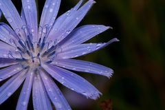 Piękny cykoriowy kwiat r na zielonej łące Po lato deszczu Zdjęcia Royalty Free