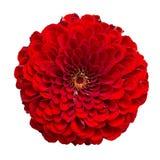 Piękny cynia kwiat odizolowywający na białym tle Zdjęcie Stock