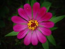 Piękny cynia kwiatu zbliżenia wizerunek obrazy royalty free