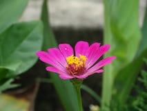 Piękny cynia kwiatu zbliżenia wizerunek zdjęcia stock