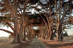 Piękny Cyprysowego drzewa tunel przy półmrokiem Zdjęcia Royalty Free