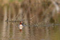 Piękny cyraneczki kaczki dopłynięcie na jeziorze Zdjęcie Royalty Free