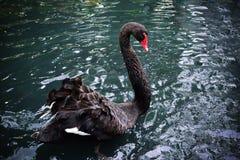 Piękny czarnego łabędź dopłynięcie w jeziorze Zdjęcia Royalty Free