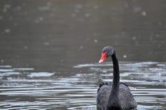 piękny czarny łabędź Zdjęcie Royalty Free