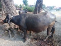 Piękny Czarny bizon fotografia royalty free