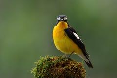 Piękny czarny i żółty ptak z białym punktem na swój skrzydłach na obraz royalty free