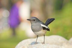 Piękny czarny i biały ptak, żeński Orientalny sroka rudzik Zdjęcie Stock