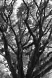 Piękny czarny i biały stary drzewo obraz stock