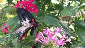 Piękny czarny i czerwony swallowtail motyl szuka nektar na kwiacie zbiory