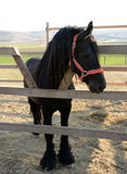 Piękny czarny koń na gospodarstwie rolnym, słoneczny dzień zdjęcie royalty free