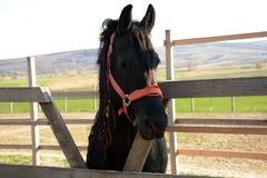 Piękny czarny koń na gospodarstwie rolnym, słoneczny dzień obraz stock