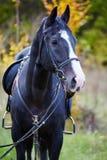 Piękny czarny koń w lesie Zdjęcia Stock