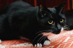 Piękny czarny kot z białym wąsy i kolorem żółtym ono przygląda się obrazy stock
