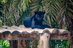 Piękny czarny tygrysi odpoczywać podczas gdy oglądający pogodę obraz royalty free