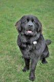 Piękny Czarny wodołaz Kłaść w trawie Zdjęcie Royalty Free