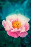 Piękny czarodziejek menchii kwiat przy ciemną naturą Fotografia Stock