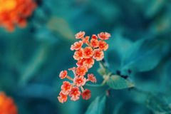 Piękny czarodziejski marzycielski magiczny czerwony żółty pomarańczowy kwiatu lantana camara na zielonym błękitnym rozmytym tle Fotografia Royalty Free
