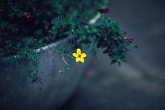 Piękny czarodziejski marzycielski magiczny kolor żółty kwitnie z ciemnozielonymi liśćmi w flowerbed Obraz Royalty Free
