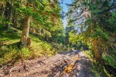 Piękny czarodziejski stary sosnowy las w wczesnym poranku w świetle słonecznym Ja Obrazy Stock