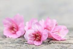 Piękny czereśniowego okwitnięcia kwiat, Sakura kwiat Fotografia Royalty Free