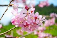 Piękny czereśniowego okwitnięcia kwiat, Sakura kwiat Obrazy Stock