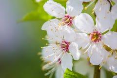 Piękny czereśniowego okwitnięcia ` Sakura `, zakończenie Fotografia Stock
