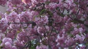 Piękny Czereśniowy drzewo kwitnie w pełnym kwiacie przy wiosną Zadziwiający różowi kwiaty japoński czereśniowego drzewa zakończen zbiory wideo