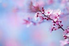 Piękny czereśniowy okwitnięcie Obrazy Royalty Free