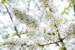 Piękny czereśniowy okwitnięcie obrazy stock