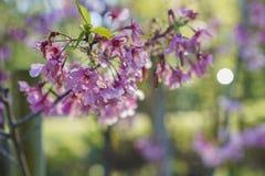 Piękny czereśniowy okwitnięcie przy Schabarum regionalności parkiem Zdjęcia Royalty Free