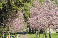 Piękny czereśniowy okwitnięcie przy Schabarum regionalności parkiem Fotografia Royalty Free