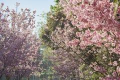 Piękny czereśniowy okwitnięcie przy Schabarum regionalności parkiem Obrazy Stock