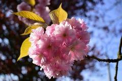 Piękny czereśniowy okwitnięcie Sakura w wiosna czasie Zdjęcia Stock