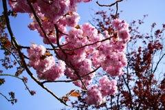 Piękny czereśniowy okwitnięcie Sakura w wiosna czasie Zdjęcie Royalty Free