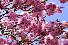 Piękny czereśniowy okwitnięcie Sakura w wiosna czasie Fotografia Royalty Free