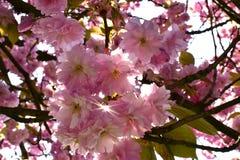 Piękny czereśniowy okwitnięcie Sakura w wiosna czasie Fotografia Stock