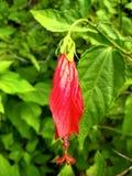 Piękny czerwień pączek zamknięty w górę chińczyk róża zdjęcie stock