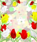 Piękny czerwieni, bielu i koloru żółtego tulipanów kwitnąć, Zdjęcie Royalty Free