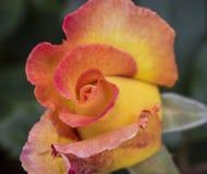 Piękny czerwieni i koloru żółtego róży pączek rozwijać się właśnie wokoło zdjęcia stock