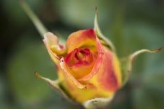 Piękny czerwieni i koloru żółtego róży pączek rozwijać się właśnie wokoło zdjęcie stock