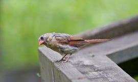 Piękny czerwieni i szarość ptak Zdjęcia Royalty Free