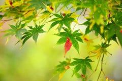 Piękny czerwieni japoński klon Obrazy Royalty Free