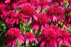 Piękny czerwieni menchii echinacea ` kopii miarki cranberry ` kwiat w wiosna sezonie przy ogródem botanicznym obrazy stock