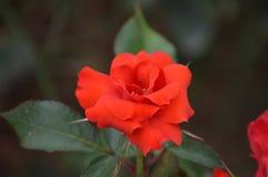 Piękny czerwieni róży kwiat Fotografia Royalty Free