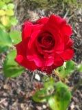 Piękny czerwieni róży okwitnięcia kwiat obraz royalty free