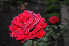 Piękny czerwieni róży pączek Zdjęcie Stock