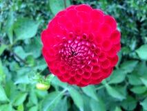 Piękny czerwonego colour kwiatu zieleni tło Zdjęcia Royalty Free