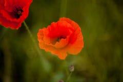 Piękny czerwony śródpolnego maczka zbliżenie Obraz Stock