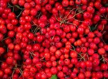 Piękny czerwony Bożenarodzeniowy tło zbierał od dzikich Rowan ber Obrazy Royalty Free