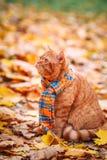 Piękny Czerwony brytyjski kot z kolorem żółtym Przygląda się n błękitny szalik Plenerowy Jesień kot w żółtych liściach zdjęcie stock